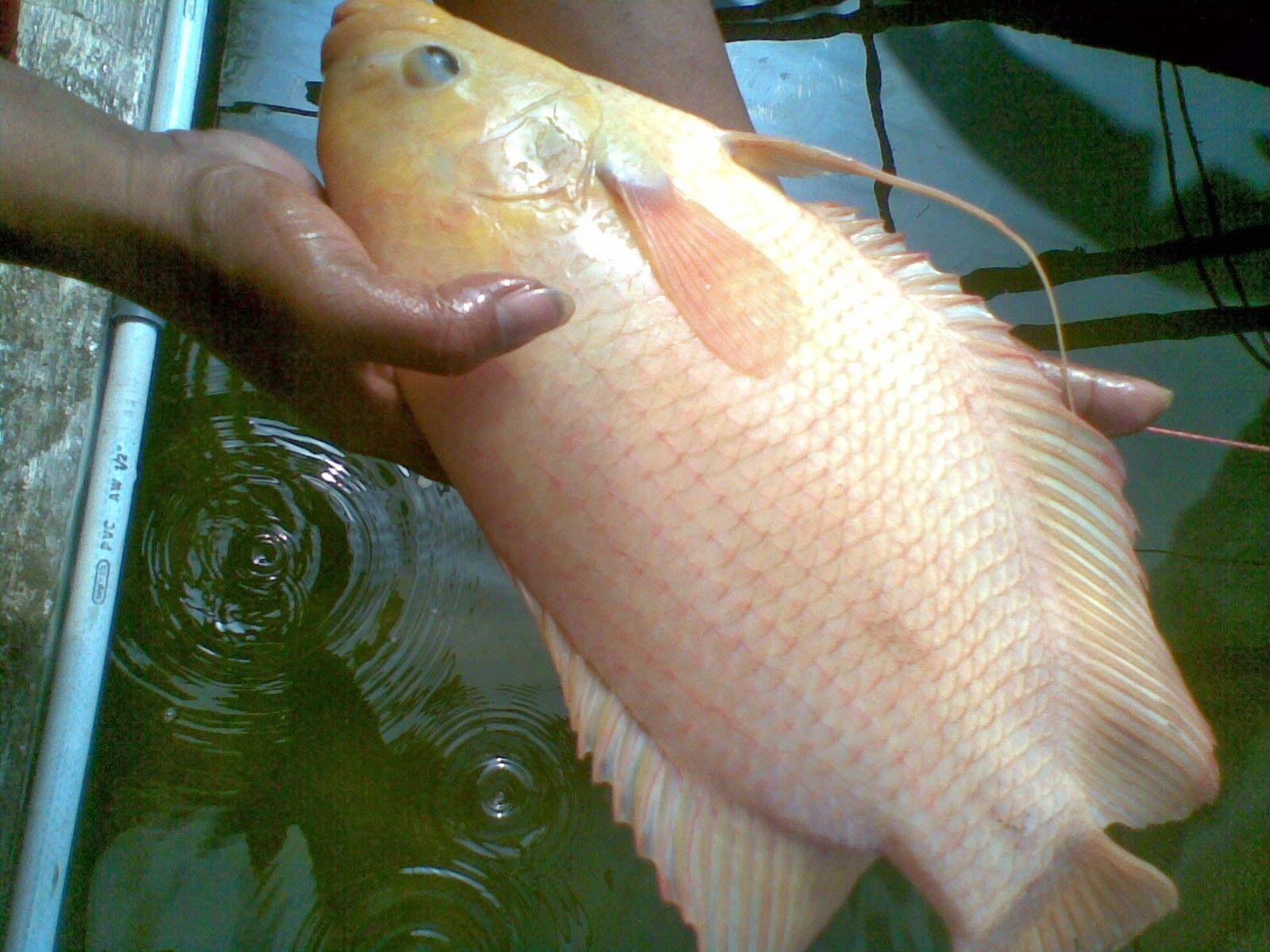 Cara Ternak Ikan Gurame Dan Belajar Untuk Merawatnya
