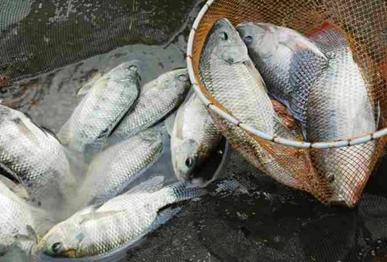 Belajar Menyayangi Dan Budidaya Ikan Nila