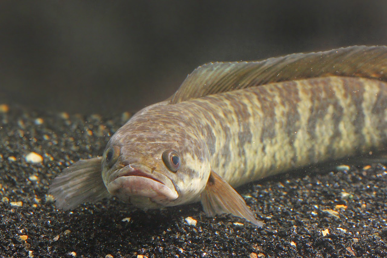 Budidaya Ikan Gabus Agar Menghasilkan Panen Melimpah