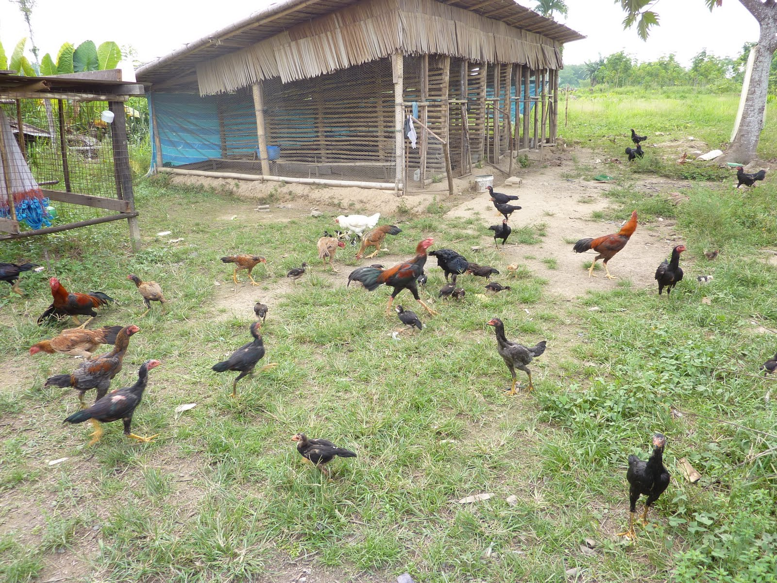 Pembuatan & Lokasi Kandang Ayam Kampung