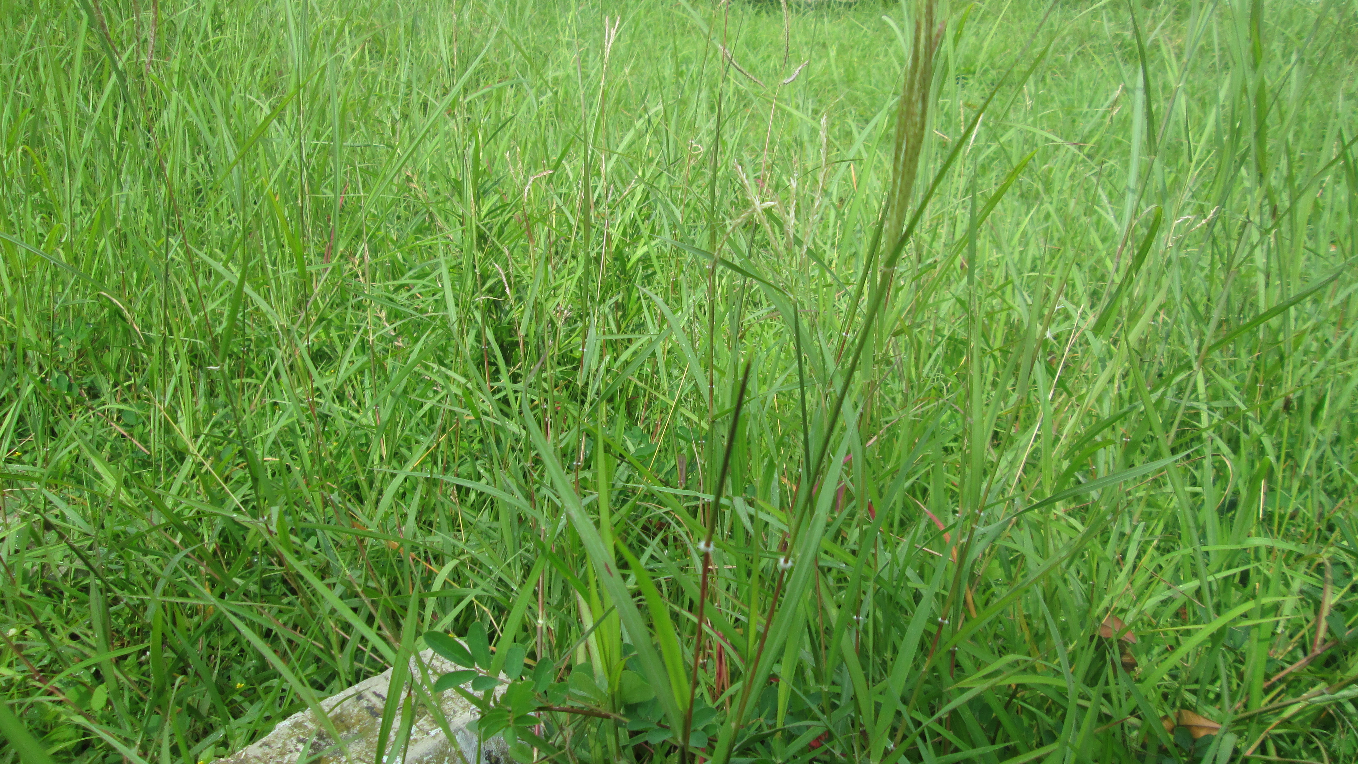 Kandungan Kimia Yang Dimiliki Rumput Teki