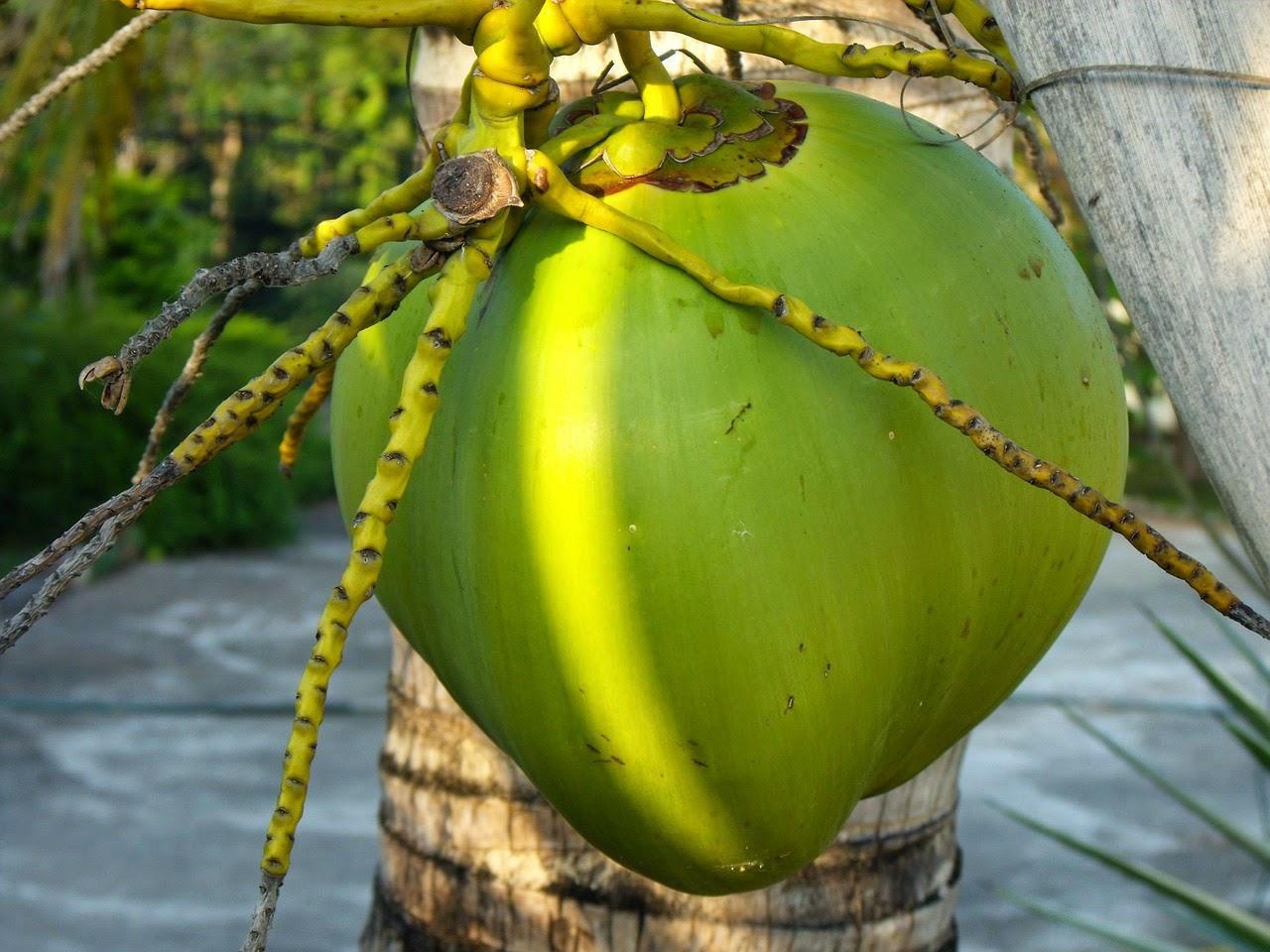 manfaat kelapa