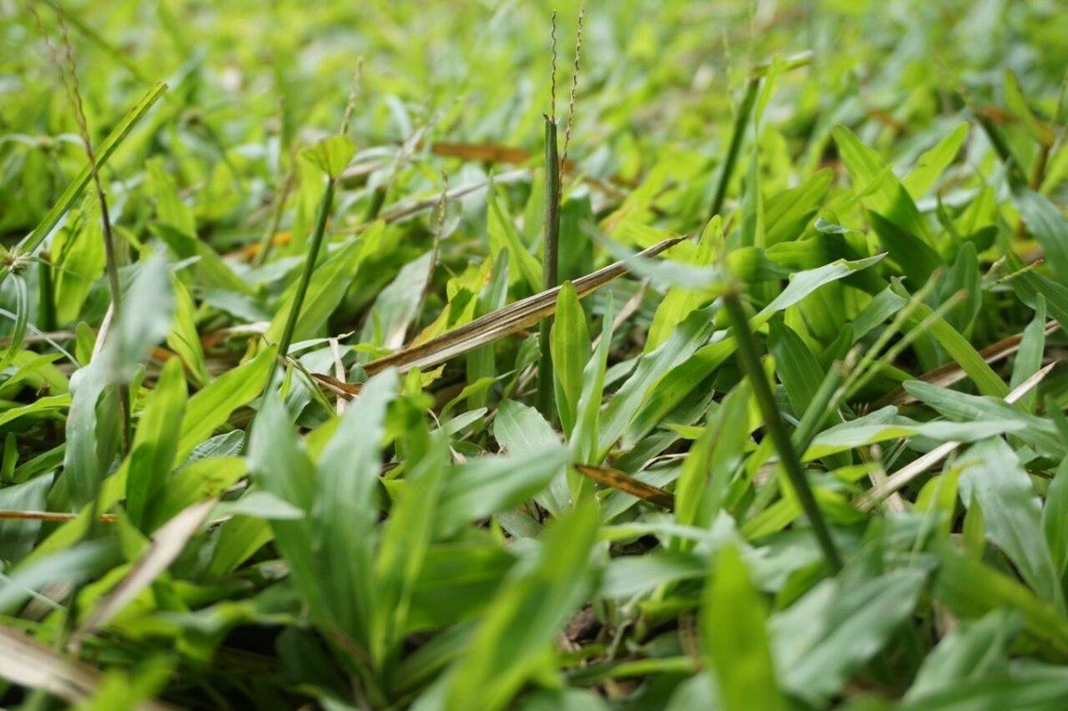 Rumput Pakan Ternak Yang Baik Untuk Hewan