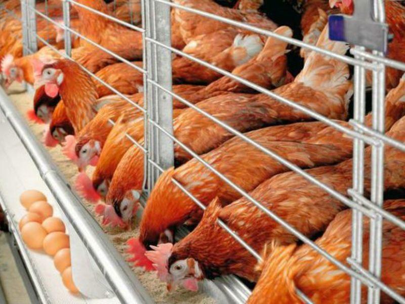 penyakit ayam petelur