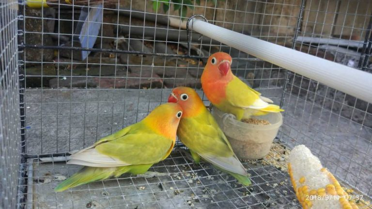 cara ternak lovebird untuk di jadikan usaha anda di rumah dan menjanjikan