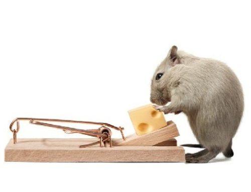 Cara Membuat Jebakan Tikus Dengan Peralatan Sederhana