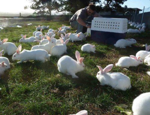Cara Beternak Kelinci dan Orientasi Bisnisnya